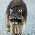 Raccoon On The Prowl by Steve Gass