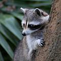 Raccoon by Scott Pellegrin