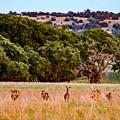 Nine Racing Whitetail Deer by Jeanie Mann