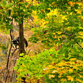 Racoon In Fall Trees by David Arment
