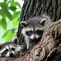 Racoons In Tree by Colin Cuthbert