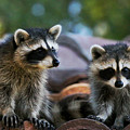 Racoons On The Roof by Dorothy Cunningham