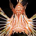 radial Lionfish Pterois radiata by Hagai Nativ
