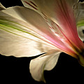 Radiance Of Hope by Krissy Katsimbras