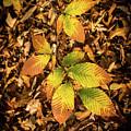 Radiant Beech Leaf Branches by Douglas Barnett