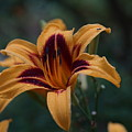 Radiant Lily by Carrie Goeringer