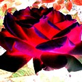 Radiant Red Rose by Will Borden