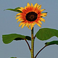Radiant Sunflower by Peg Urban