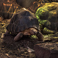 Radiated Tortoise by Doc Braham