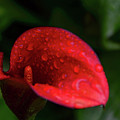Rain Coated Red Anthurium by Soni Macy