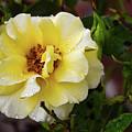Rain Coated Yellow Rose by Soni Macy