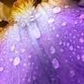 Rain Covered Iris by Amanda Kiplinger