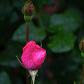 Rain Covered Pink Rose And Buds by Soni Macy