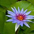 Rain Drenched Blue Lotus In Grand Cayman by Marie Hicks