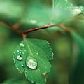 Rain Droplet On Leaf by Steve Somerville