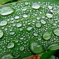 Rain Drops by Dianne Pettingell
