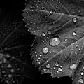 Rain Drops On Leaf by Robert Ullmann