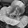 Rain Kissed Rhine Flower by John Daly
