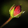 Rain Kissed Rosebud by Jerry Gammon