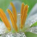 Rain Lily Macro by Brad Boland