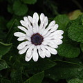Rain On A White Flower by Alice Markham