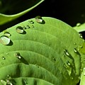 Rain On Leaf by Robert Skuja