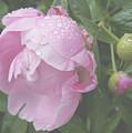 Rain On Peony by Kristi Ulrich