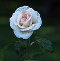 Rain Rose by Brent Bordelon