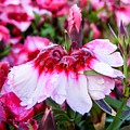 Rain Soaked Dianthus by Cynthia Woods