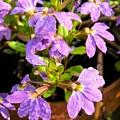 Rain Soaked Fan Flowers by Cynthia Woods