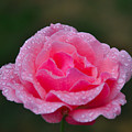 Rain Spattered Rose by Noah Cole