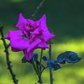 Rain Wet Rose 2 by Brent Bordelon