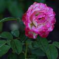 Rain Wet Rose by Brent Bordelon