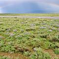 Rainbow And Lupine, Grand Teton Nm, Wyoming by Robert Mutch