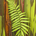 Rainbow Eucalyptus And Fern by Ron Dahlquist - Printscapes