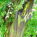 Rainbow Eucalyptus by Mary Deal