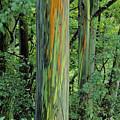 Rainbow Eucalyptus by Ron Dahlquist - Printscapes