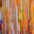 Rainbow Eucalytpus by Cory Huchkowski