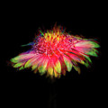 Rainbow Flower On Black by Terry Davis