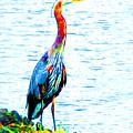 Rainbow Heron by Nick Gustafson