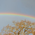 Rainbow Illumined Oak Tree by Andrea Freeman