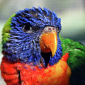 Rainbow Lorikeet by Amber Flowers