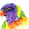 Rainbow Lorikeet by Chris Hobel