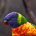 Rainbow Lorikeet by Douglas Barnett
