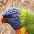 Rainbow Lorikeet by Mike  Dawson