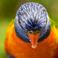 Rainbow Lorikeet by Avalon Fine Art Photography