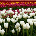 Rainbow Of Tulips by Sonja Anderson