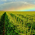 Rainbow Over The Cornfields by John Wall