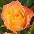 Rainbow Rose by Karen Cook