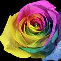 Rainbow Rose by Maria Ollman